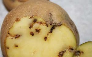 Картофельная моль