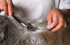 Как быстро вылечить подкожный клещ у кошки