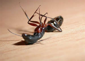 Как избавиться от муравьев в квартире и частном доме – лучшие средства