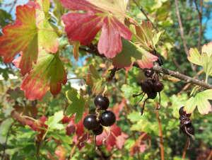 Обработка смородины осенью