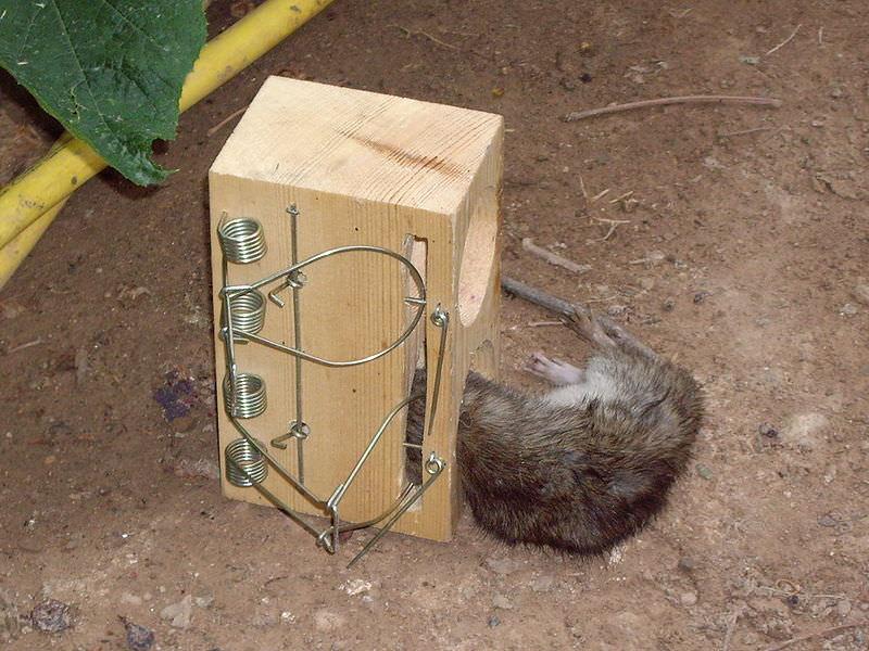 Изготовление крысоловки своими руками