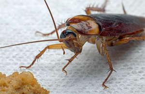 Популярные народные средства от тараканов