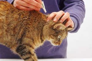Избавление от блох у кошки в домашних условиях — обзор лучших препаратов