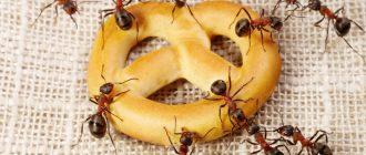 Как избавиться в квартире от рыжих муравьев
